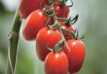 Βιομηχανική ντομάτα: Με βαριά καρδιά η συλλογή των όψιμων στη Θεσσαλία