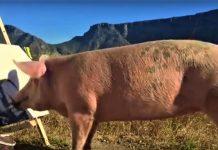 Και τα γουρούνια έχουν τον Pigcasso τους!(Βίντεο)