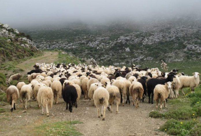 ΠΕ Ροδόπης: Επιστολή διαμαρτυρίας για τη μη καταβολή αποζημιώσεων στους κτηνοτρόφους από τον ΕΛΓΑ