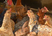 Περ. ΑΜ-Θ: Επικαιροποίηση μέτρων για αποτροπή μόλυνσης από την Γρίπη των Πτηνών