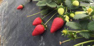 Σε ρεβάνς στην επόμενη συγκομιδή ελπίζουν οι παραγωγοί φράουλας