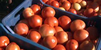Κατάσχεση και καταστροφή ντομάτας Πολωνίας με υπολείμματα φυτοφαρμάκων