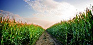Μειωμένες πάνω από 15% οι εκτάσεις καλαμποκιού