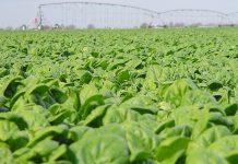 Σε στενωπό οι εξαγωγές για το φρέσκο σπανάκι