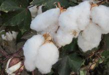 Φ. Αραμπατζή «Εβδομάδα των Παθών» για πολλούς βαμβακοπαραγωγούς, που περίμεναν συνδεδεμένη ενίσχυση