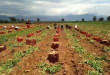 Υποσχόμενο ξεκίνημα για την πατάτα της Μεσσηνίας