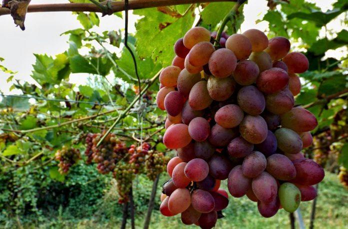 Επιτραπέζιο σταφύλι: Με νέες ποικιλίες στις απαιτητικές αγορές