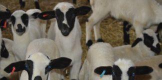 Σε e-πλειστηριασμό 200 πρόβατα για χρέος προς τον ΕΦΚΑ