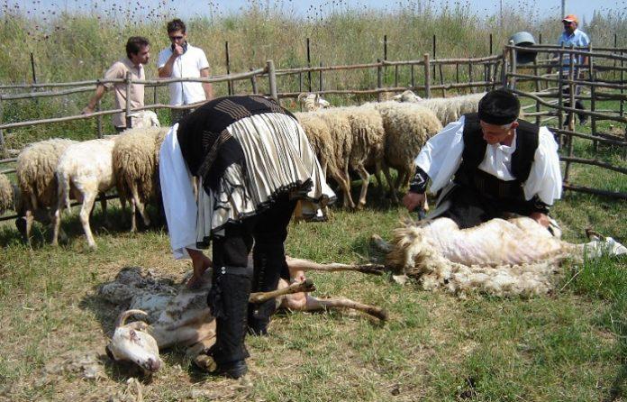 Οι Θεσσαλοί κτηνοτρόφοι επιμένουν στην παραδοσιακή κουρά των αμνών