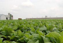 Τον απολογισμό του προγράμματος κατάρτισης καπνοκαλλιεργητών σε πρακτικές Γεωργίας Ακριβείας κάνει ο δρ. Ευάγγελος Βέργος