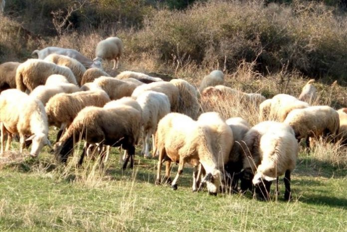 Δ. Μακεδονία: Ζημίες στο ζωικό κεφάλαιο από τον παγετό