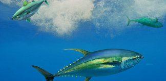 Διαβούλευση για τους όρους και τις προϋποθέσεις άσκησης αλιείας του τόνου και του ξιφία