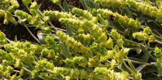 Η καλλιέργεια του Τσάι Ολύμπου αποτελεί μια νέα αγροτική επιχειρηματική δραστηριότητα με χαμηλό ρίσκο