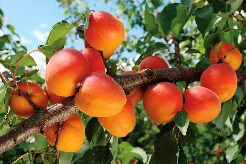 Νέα δεδομένα για την καλλιέργεια της Βερικοκιάς σε ημερίδα στο Αργος
