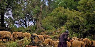 ΠΑΣΟΚ: Άμεσα μέτρα στήριξης για την παραδοσιακή μορφή κτηνοτροφίας