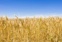 Ρουμανία: Εξαγωγές σιτηρών αξίας άνω του ενός δισ. ευρώ