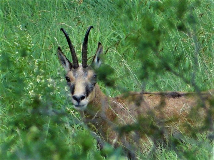 Καταμετρήθηκε το Βαλκανικό αγριόγιδο στο Δάσος του Φρακτού