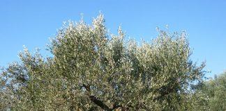 Λάρισα: Διενέργεια δολωματικών ψεκασμών για την καταπολέμηση του δάκου της ελιάς