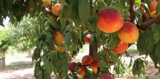 Ενισχύσεις de minimis 10,2 εκατ. ευρώ στους ροδακινοπαραγωγούς