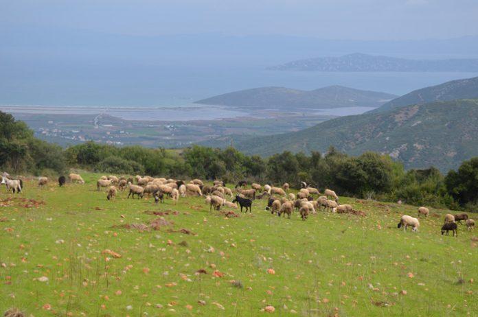 Η Ομοσπονδία των Θεσσαλών κτηνοτρόφων ζητάει de minimis και στους πεδινούς