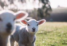 Σύστημα τροφοδοσίας ακριβείας σε πρόβατα για τη μείωση του κόστους των ζωοτροφών
