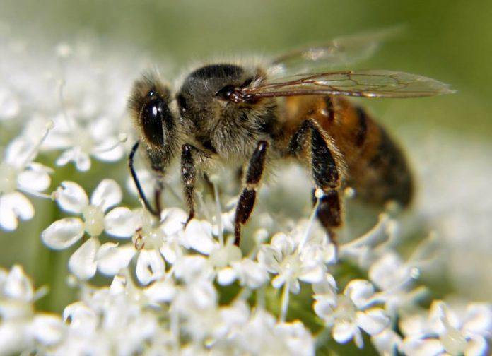 Τα προβιοτικά θα σώσουν τις μέλισσες