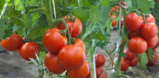 Υπαίθρια ντομάτα: Ελληνοποιήσεις και tuta absoluta οδηγούν σε μείωση της καλλιέργειας