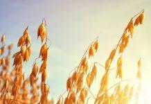 Βρώμη: Καλλιέργεια χωρίς απαιτήσεις και με χαμηλό κόστος παραγωγής
