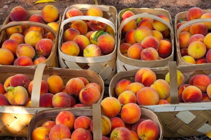 «Έμειναν εκτός αποζημιώσεων αρκετές ποικιλίες στα ροδάκινα» λέει ο Αγροτικός Σύλλογος Πέλλας «Η ΕΝΟΤΗΤΑ»