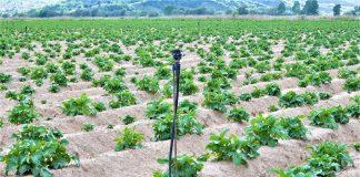 Χαμηλή τιμή για την ΠΓΕ πατάτα Νευροκοπίου