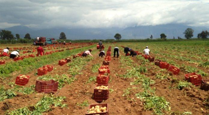 Αρκαδία: Κάτω του κόστους η τιμή παραγωγού για την πατάτα
