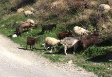Ποιοι αιγοπροβατοτρόφοι είναι επιλέξιμοι για την ενίσχυση de minimis