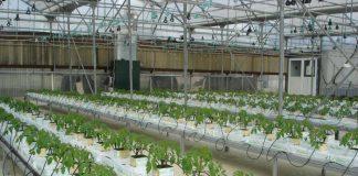 Θερμοκήπια: Συμβατική ή υδροπονική καλλιέργεια