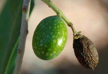 Η παρατεταμένη ξηρασία απειλεί την ελαιοπαραγωγή της Νότιας Ευρώπης