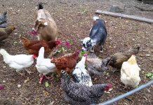 Κότες… συγκάτοικοι, το μυστικό της αποπαρασίτωσης των αιγών