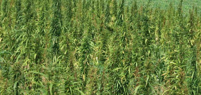 Δεκαπέντε φυτείες με πάνω από 3.000 δενδρύλλια κάνναβης εντόπισε στον Μυλοπόταμο η ΕΛ.ΑΣ