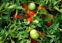 Βιομηχανική ντομάτα: Βελτιωμένη η εικόνα στην Ηλεία, προβληματισμός στη Θεσσαλία