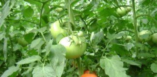 Όψιμη η παραγωγή ντομάτας στους Στρόπωνες Εύβοιας