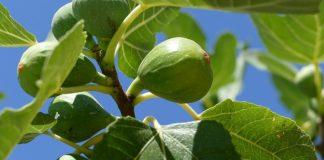Εκτός βιολογικών η καλλιέργεια σύκου - Αντιδράσεις στη Στερεά Ελλάδα