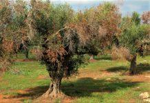 Λέσβος: Συνάντηση εργασίας για την αντιμετώπιση της xylella στα νησιά του Βορείου Αιγαίου