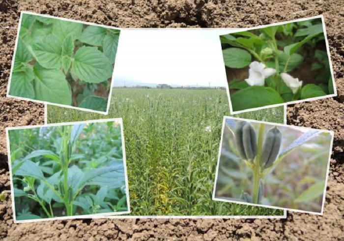 Ημερίδα για τις δυνατότητες και προοπτικές της καλλιέργειας του σουσαμιού στην Δράμα