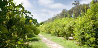 Πελοπόννησος: Αυξάνεται η καλλιέργεια του λεμονιού σε όλους τους νομούς παραγωγής