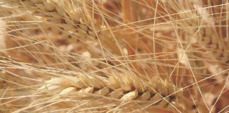 Στα 0,19€/κιλό η τιμή παραγωγού στο σιτάρι ανακοίνωσε η ΑΣ Βόλου