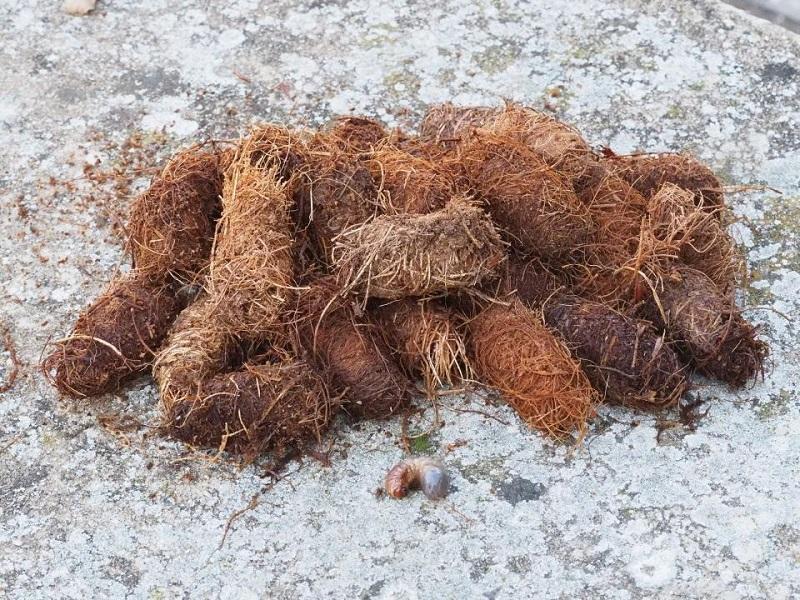Κόκκινο σκαθάρι που «τρώει» φοίνικες εντοπίστηκε στη Θεσσαλονίκη