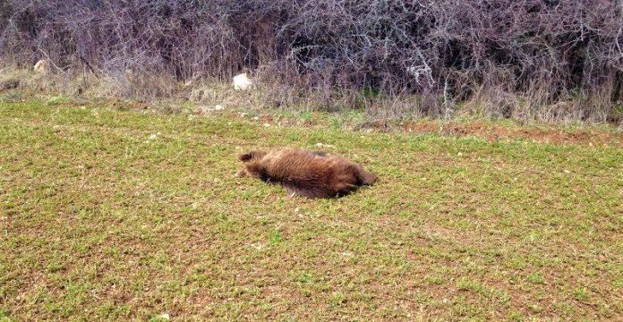 Κυνηγοί πέρασαν μια θηλυκή αρκούδα για αγριογούρουνο και την σκότωσαν