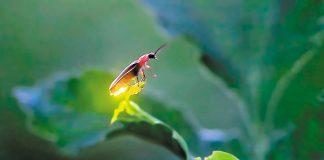 Πυγολαµπίδες ανιχνεύουν τοξικές ουσίες στα κηπευτικά