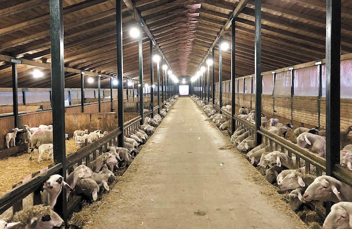 Ο πατέρας µου διέθετε τότε 700 ζώα, τα οποία, σε συνεργασία µαζί του, καταφέραµε να τα κάνουµε 1.500».