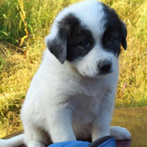 """Πάνω από 250 ελληνικούς ποιμενικούς σκύλους έδωσε σε κτηνοτρόφους η """"Καλλιστώ"""""""