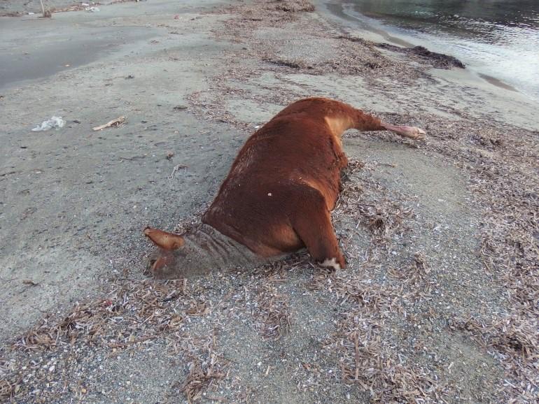 Αγελάδες και ταύρους ξεβράζει η θάλασσα σε νησιά των Κυκλάδων (Φωτό)