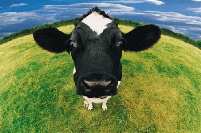 Το γάλα των αγελάδων θα μπορούσε να